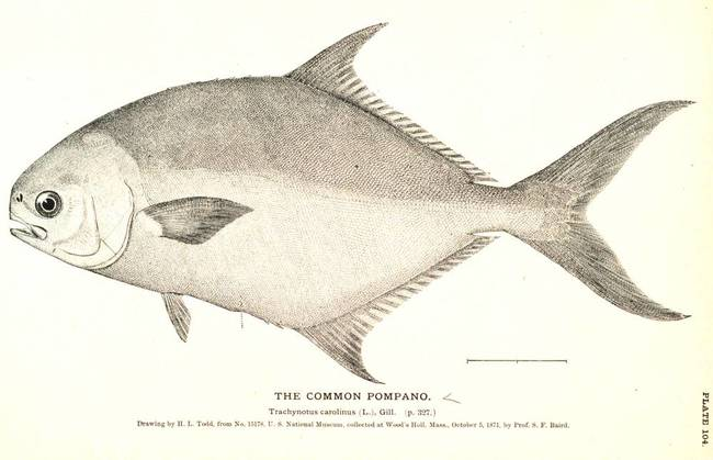 650x419 Vintage Pompano Fish Sketch By Alleycatshirts @zazzle
