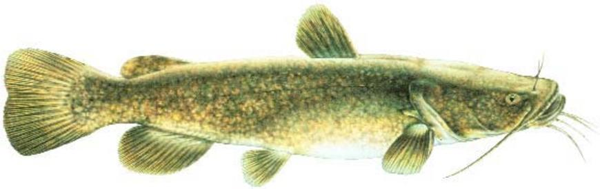 870x275 Flathead Catfish Fish Species Fishing Kdwpt