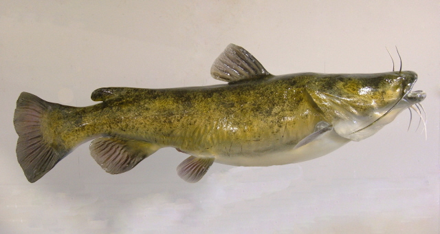640x340 Flathead Catfish Anglers Artistry, The Art Of Taxidermy