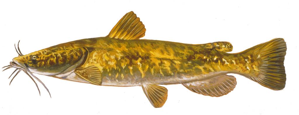 1024x395 Flathead Catfish Drawing Of Channel Catfish. Fish