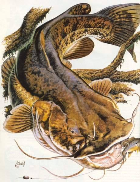 460x600 Flathead Catfish Question 18 Passed With 2161 Votes Forand 1558