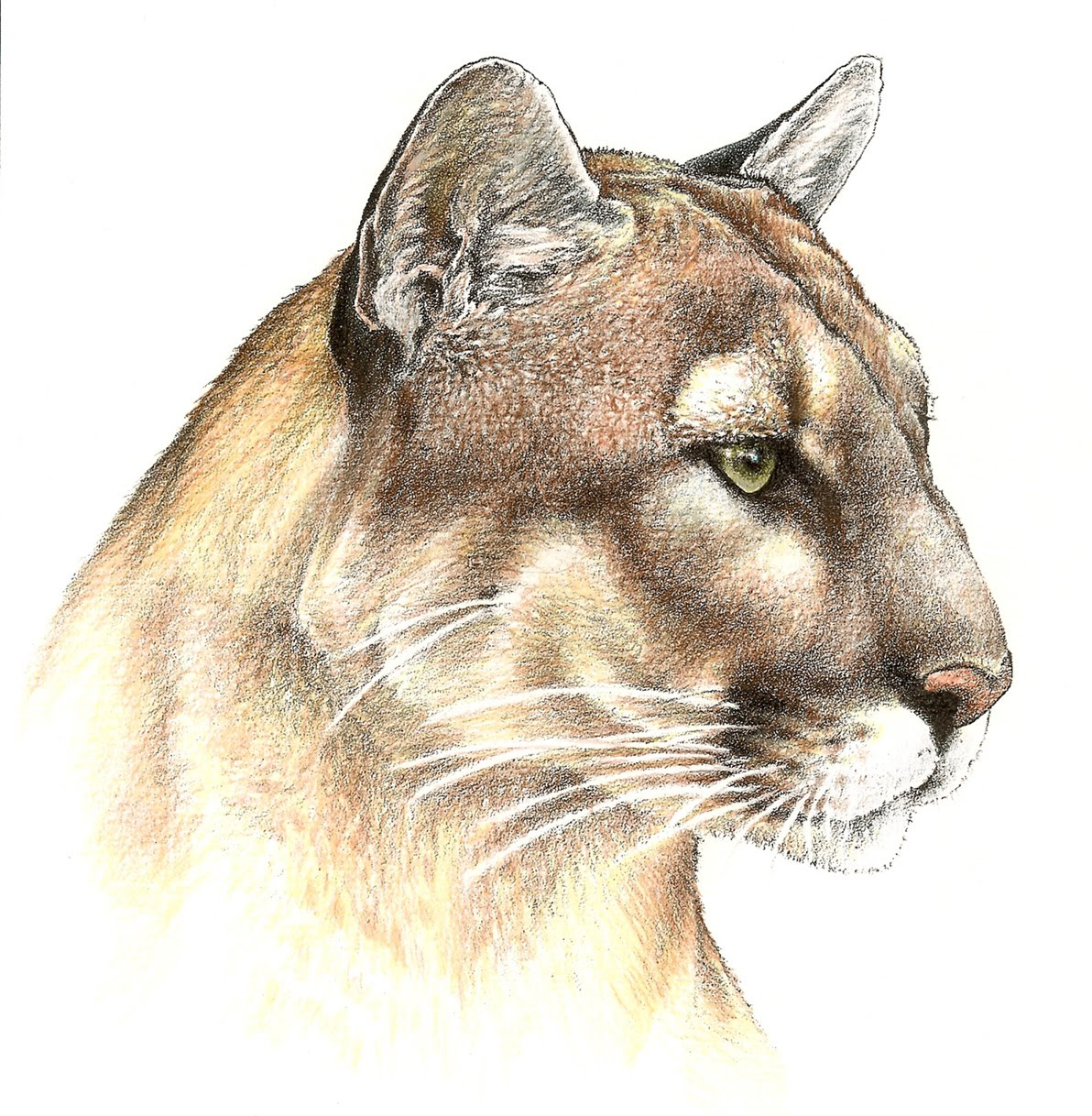 1192x1218 Florida Panther Profile Kenny Oliver's Art