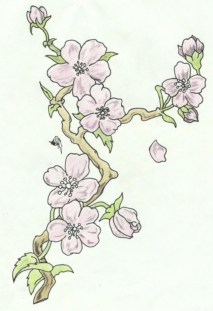 739x1080 Cherry Blossom Flower Branch Drawing Cherry Blossoms Branch