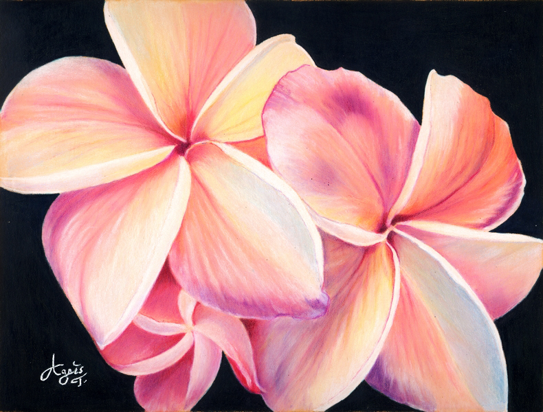 790x600 Plumeria Flowers X Posted On Colored Pencil