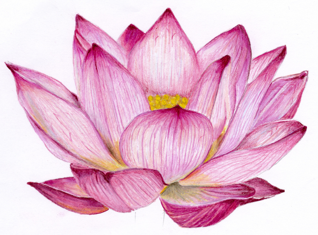 1081x800 Lotus Flower Colour Drawing Image Lotus Colour Pencil