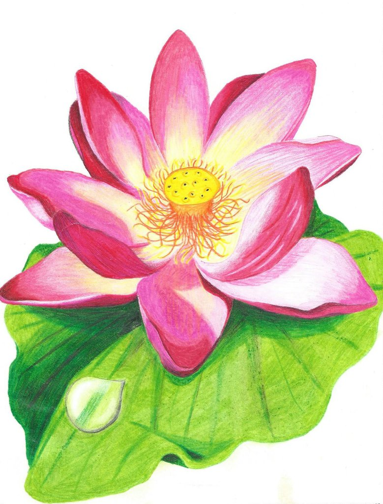 779x1025 Lotus Flower With Colored Pencil Drawing By JenniferNachtigal87 On