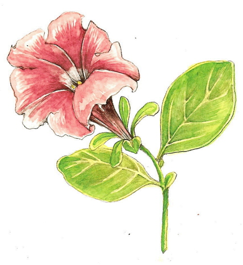 500x546 Tutorial Botanical Drawing With Pencil And Watercolor Botanical