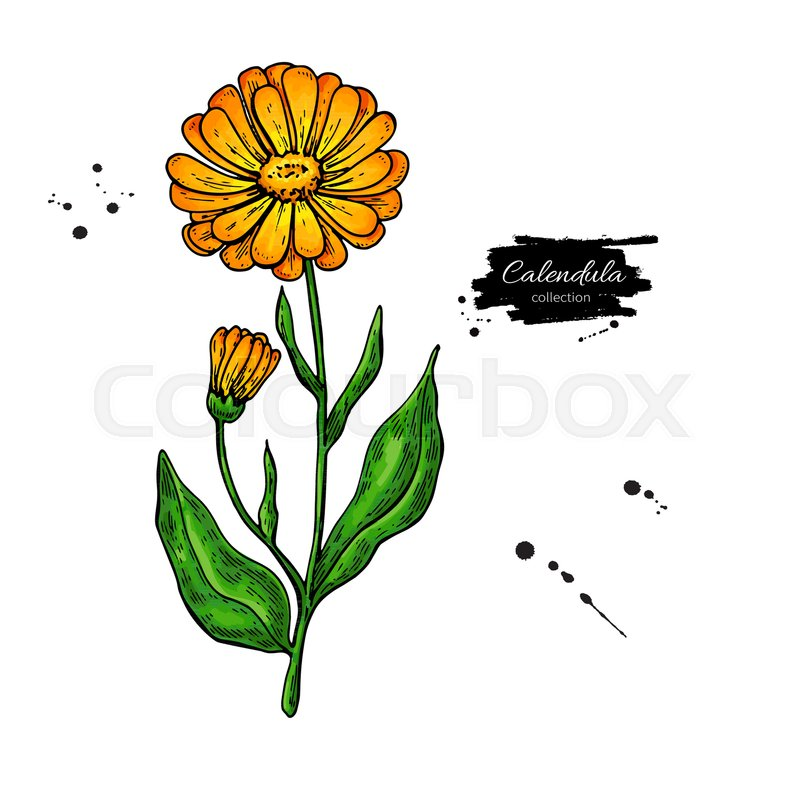 800x800 Calendula Vector Drawing. Isolated Medical Flower And Leaves