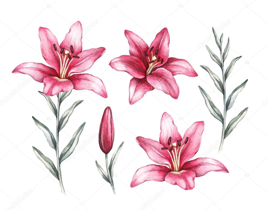 Flower Lily Drawing At Getdrawings Free For Personal Use