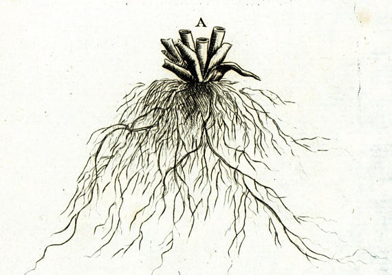 570x400 1797 Roots Rhizome Stem Flower Bistort Antique Botanical