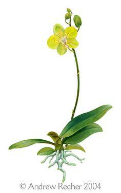 236x377 Phaleonopsis Z Orchids Botanical Illustration