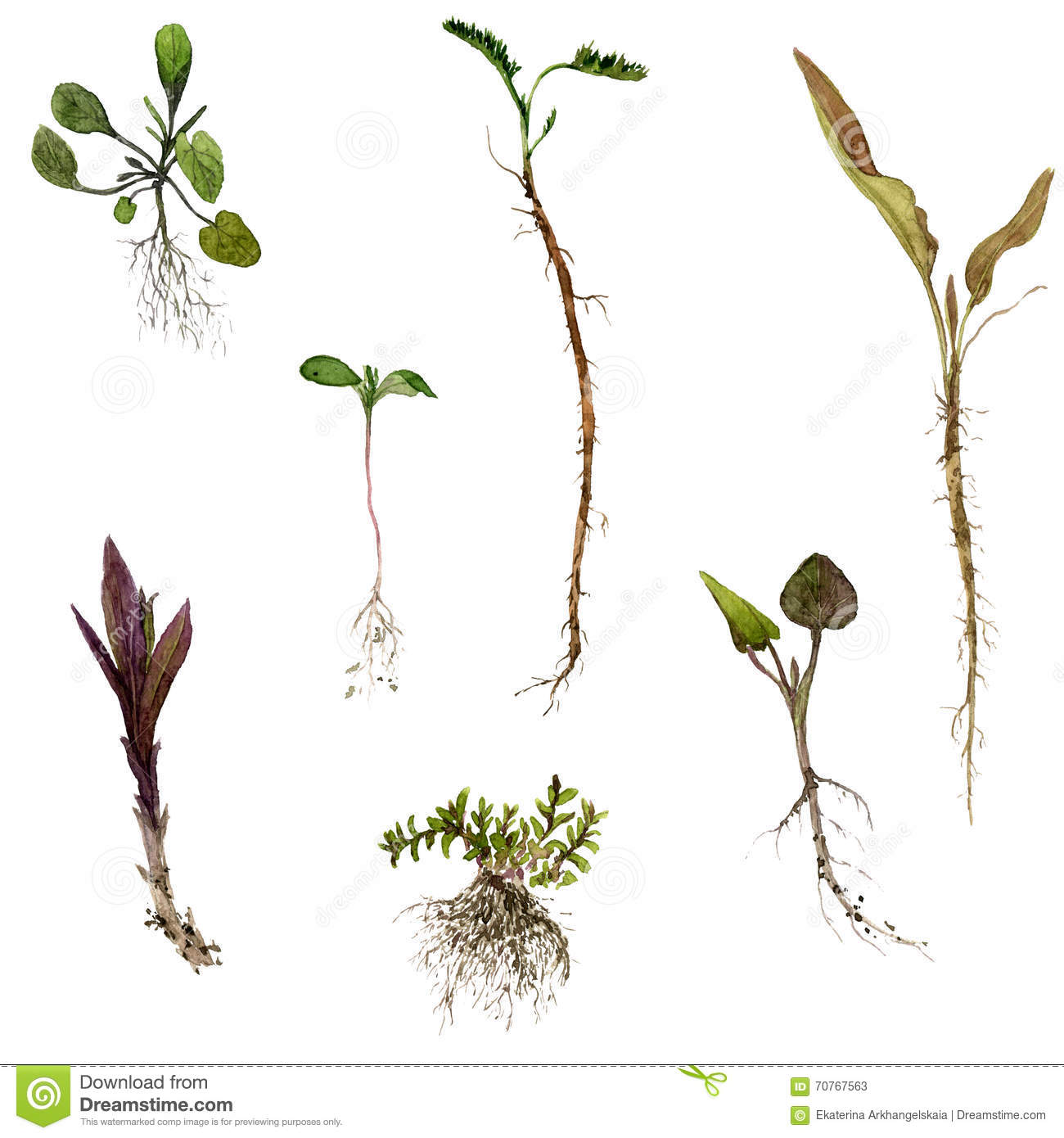 1300x1390 Set Of Watercolor Drawing Herbs With Roots Stock Illustration