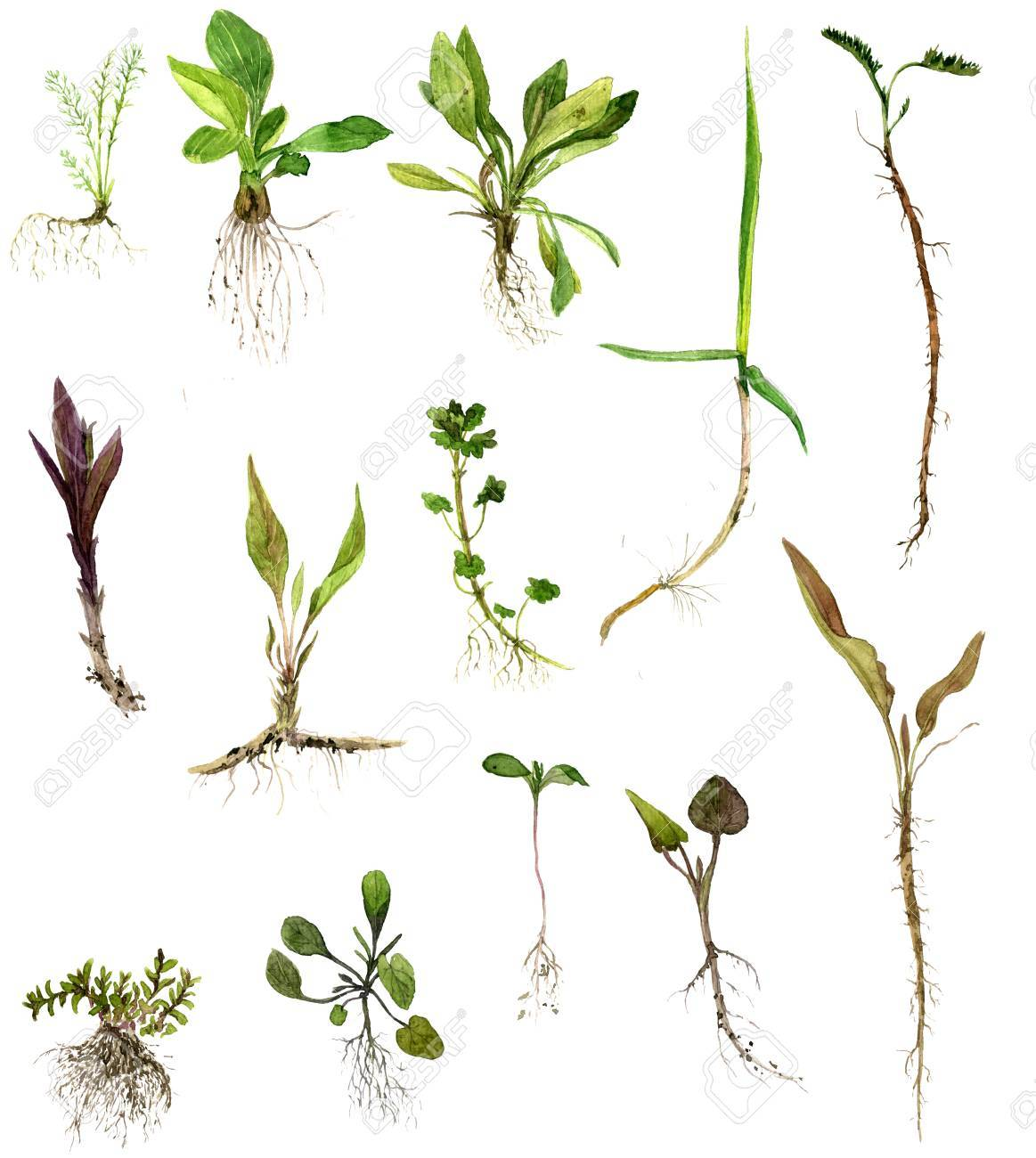 1163x1300 Set Of Watercolor Drawing Wild Flowers, Herbs And Grass