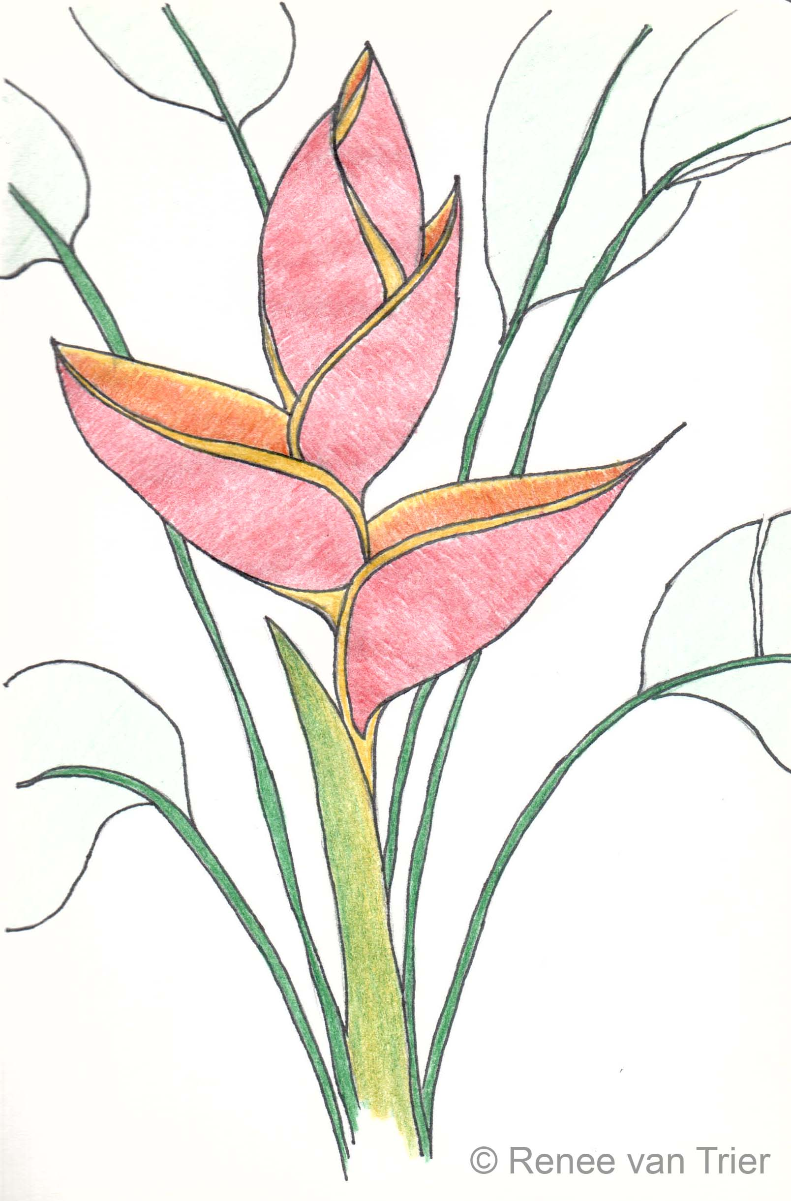 1608x2442 Flower Sketch From The Colombian Coffee Region Un Latte Deslactosada