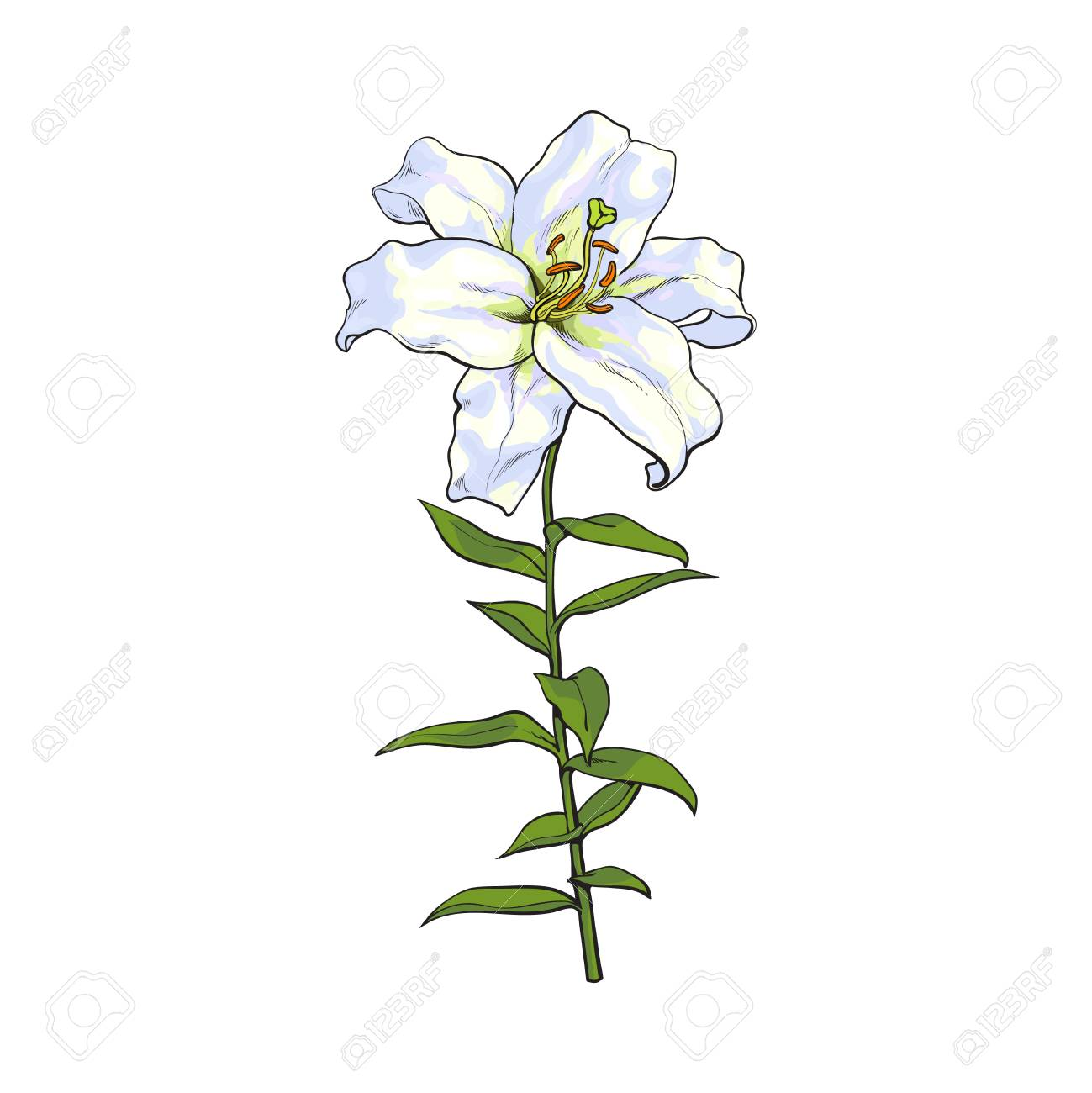 1299x1300 Single Hand Drawn White Lily Flower With Stem And Leaves, Front