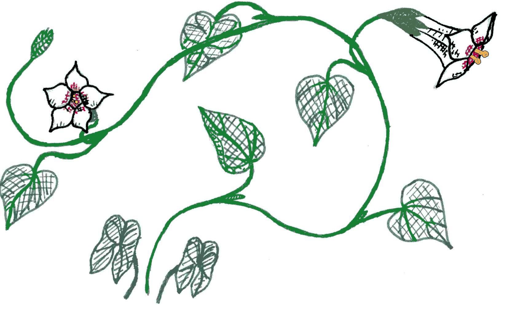 1673x1007 Filewild Potato Vine Drawing Emv20031126.jpg