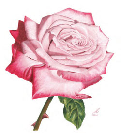 250x275 How To Draw Flowers Free Flower Drawing Guide Rose Drawings