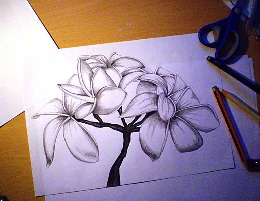 516x400 Photos Pencil Drawings Flowers Art,