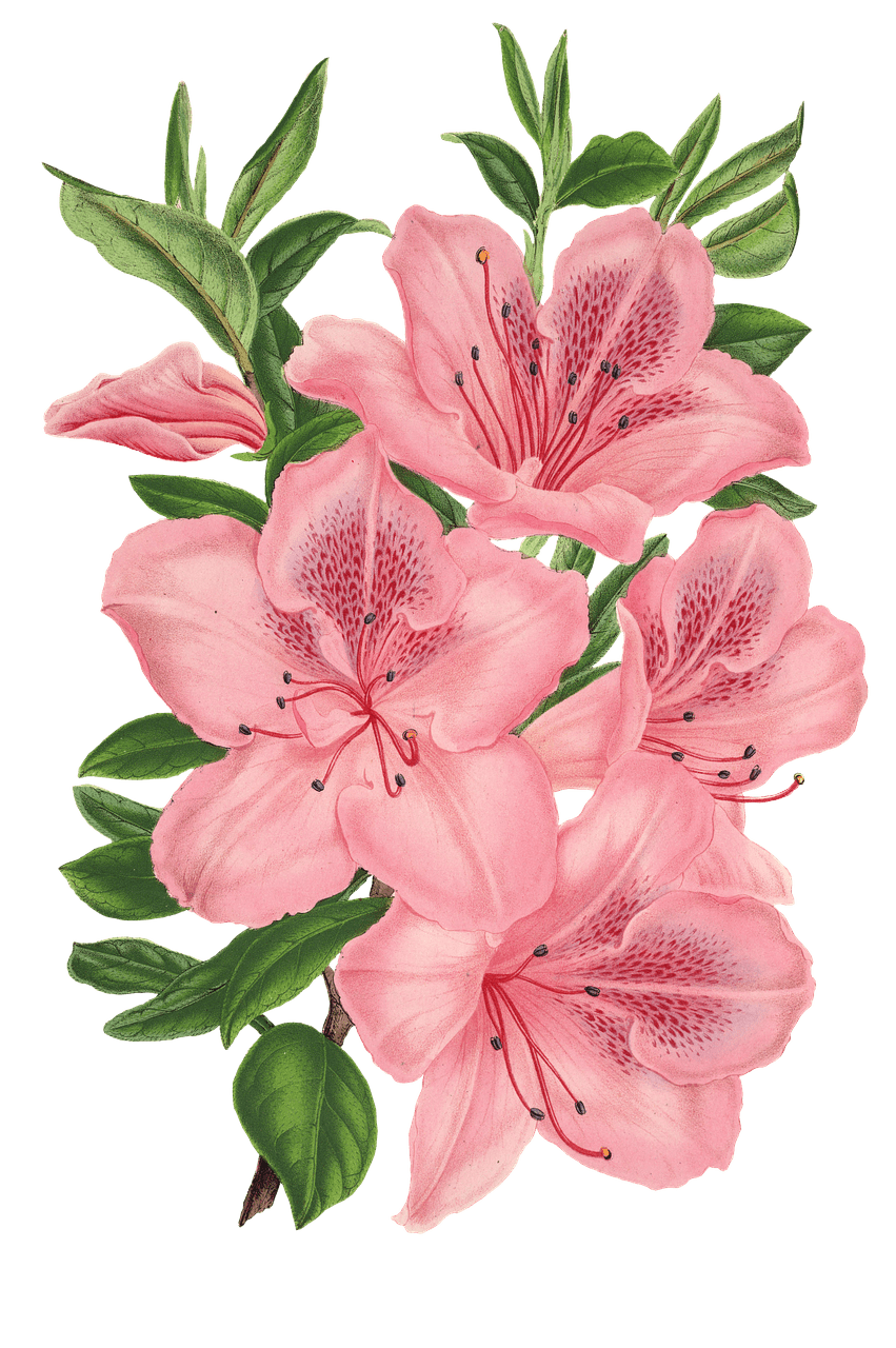 851x1280 Pink Bunch Of Flowers Drawing Transparent Png