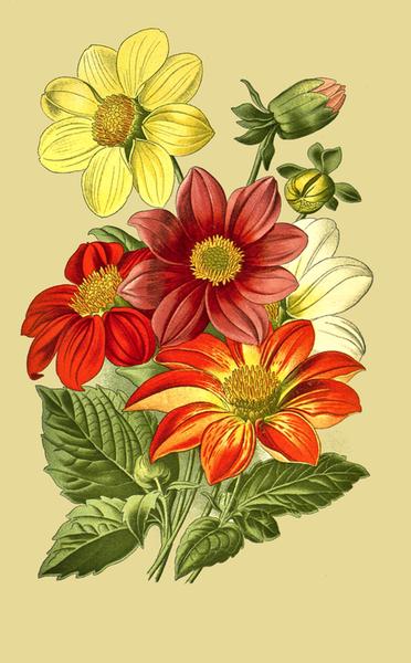 372x600 Dahlia Flowers Drawing Free Vintage Art