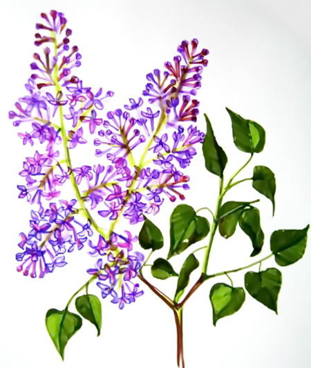 450x531 How To Draw A Lilac