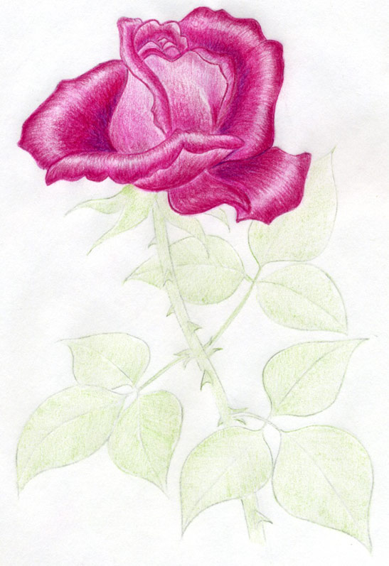 547x797 Draw A Rose Quickly Simply And Easily