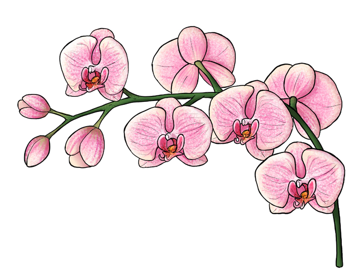 700x545 Orchid Flower Drawing Simple