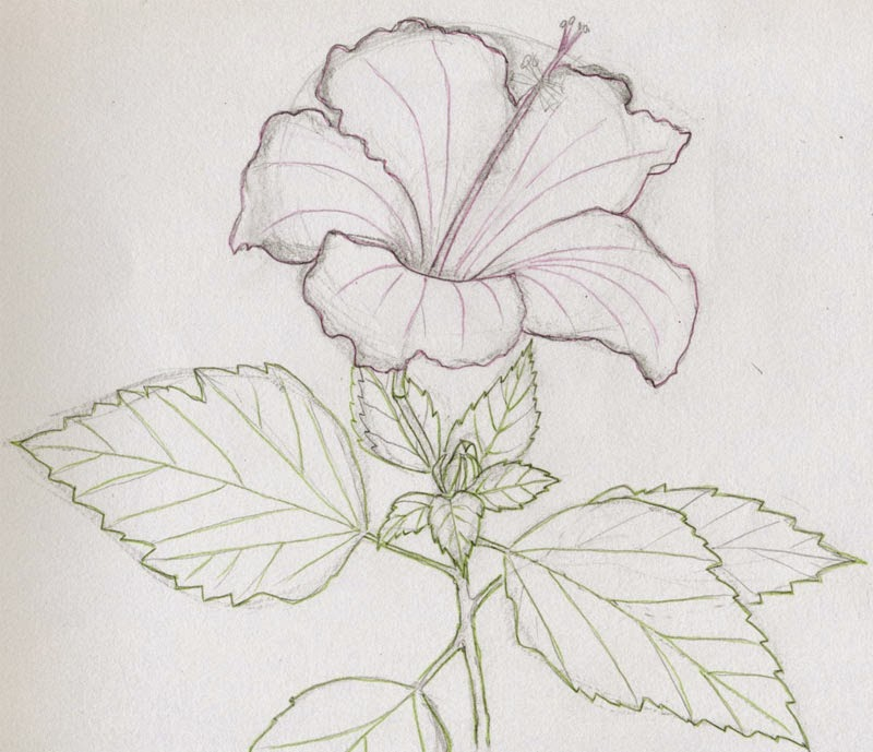800x689 Flower Drawing