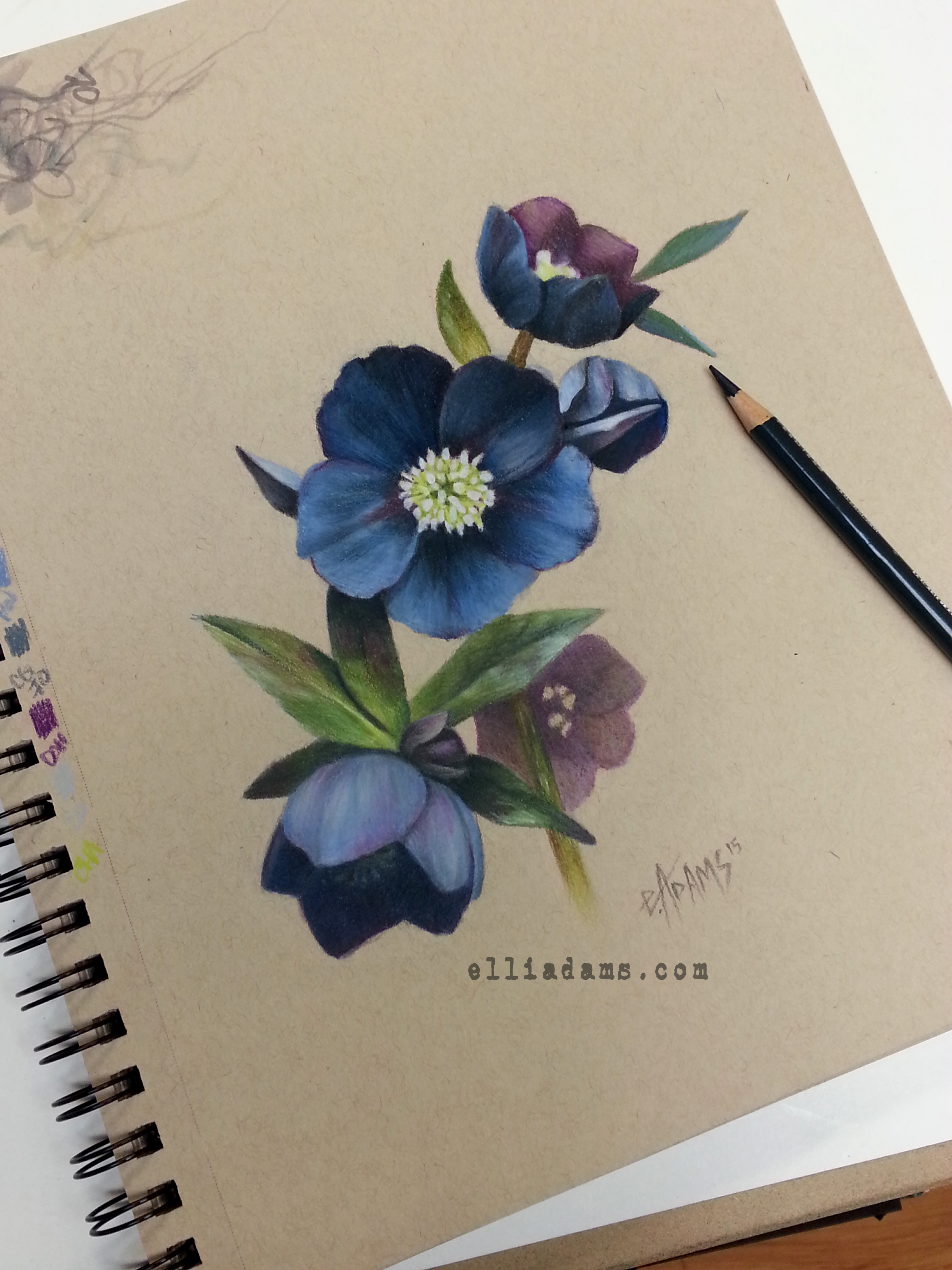 2448x3264 Black Hellebore Study I Did In Colored Pencil And Marker On