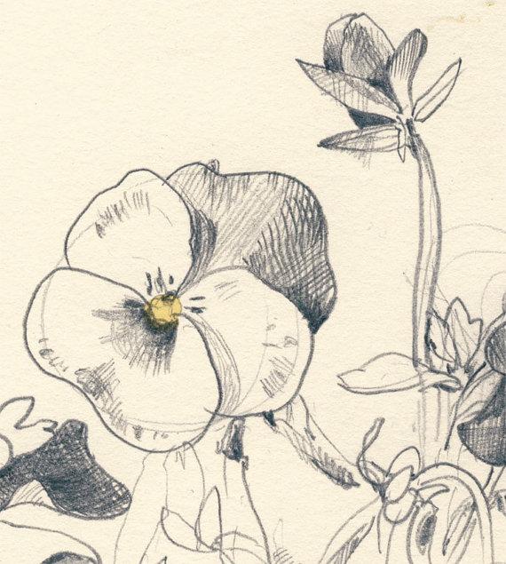 570x635 Pansies Flowers