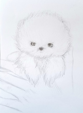 320x437 Pomeranian Drawings On Paigeeworld. Pictures Of Pomeranian