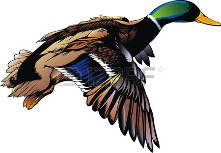 450x312 Flying Duck Stock Photos. Royalty Free Business Images
