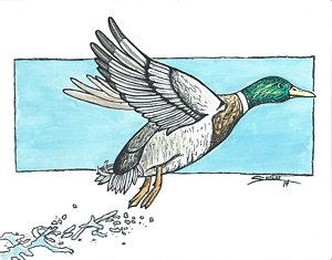 300x235 Flying Ducks Drawings Fine Art America