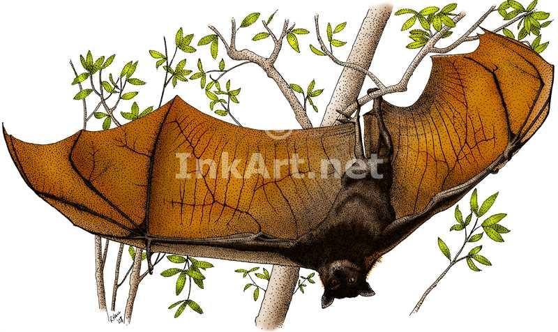 800x476 Malayan Flying Fox Stock Art Illustration