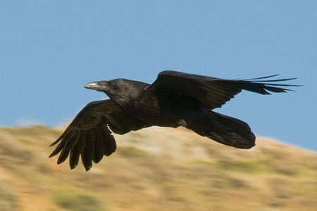 450x300 Common Raven Facts