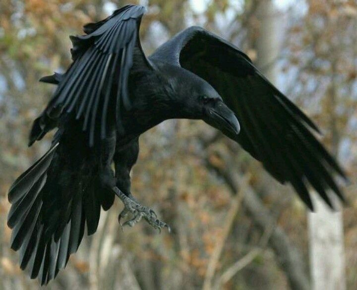 720x585 Image Result For Raven In Flight Photos Tattoo
