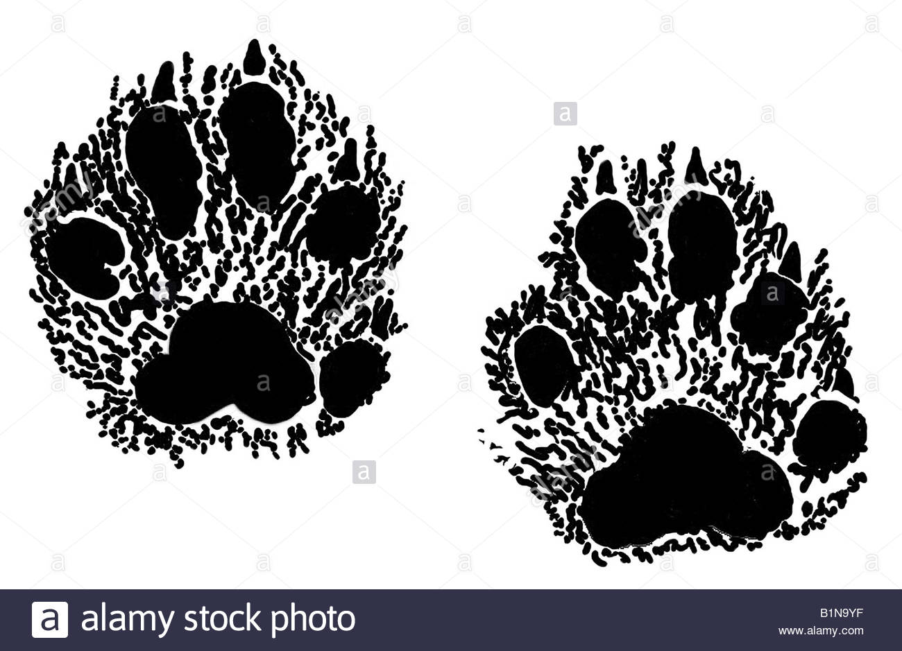 1300x939 European Pine Marten (Martes Martes), Footprints, Drawing Stock