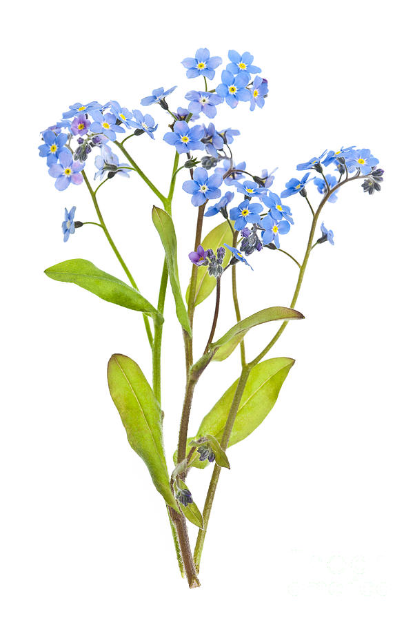 602x900 Forget Me Not Flowers On White Photograph By Elena Elisseeva