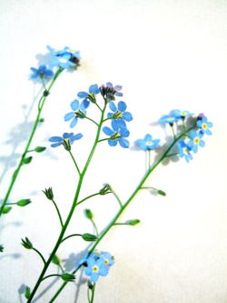 250x333 How To Draw A Forget Me Not