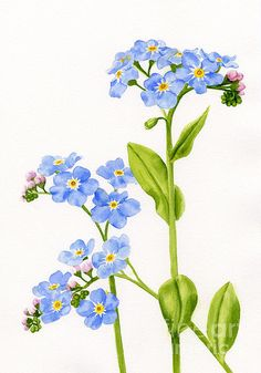 236x337 Image Result For Botanic Illustration Of Forget Me Not Fashion