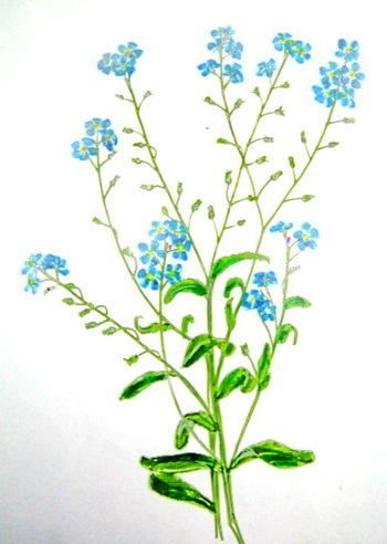 350x492 Forget Me Not Flower