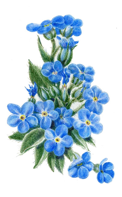 396x640 Forget Me Not Flower Drawings Alpine Forget Me Not, Colored