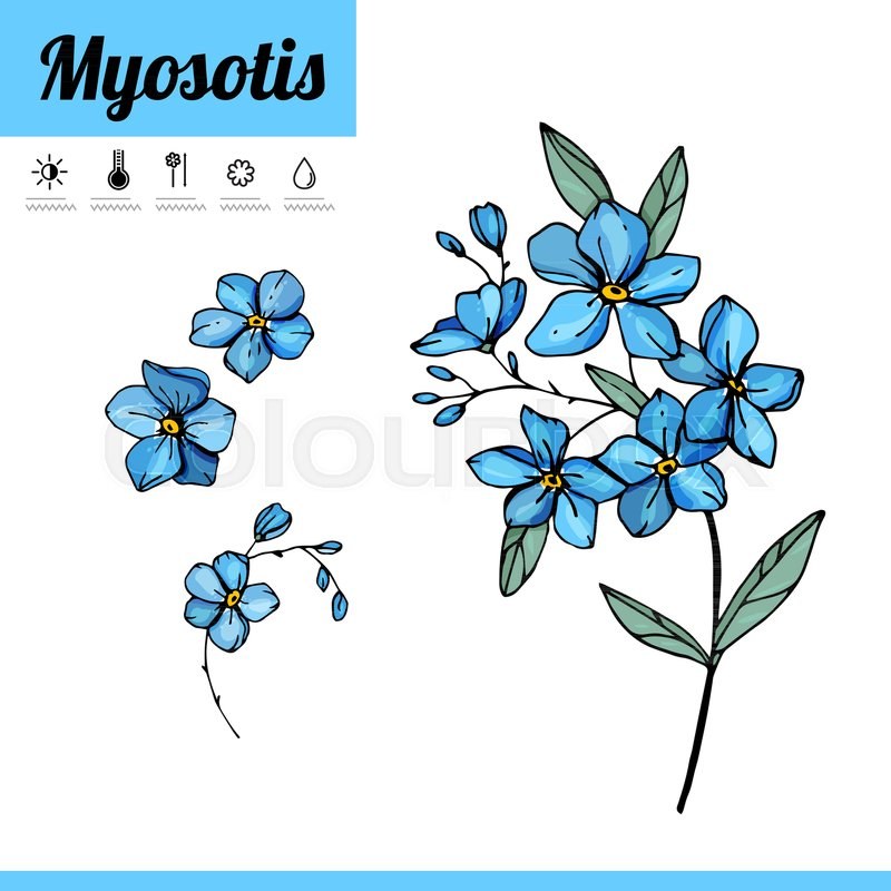 800x800 Myosotis,forget Me Not,bulbous,primrose,decorative,blossoming