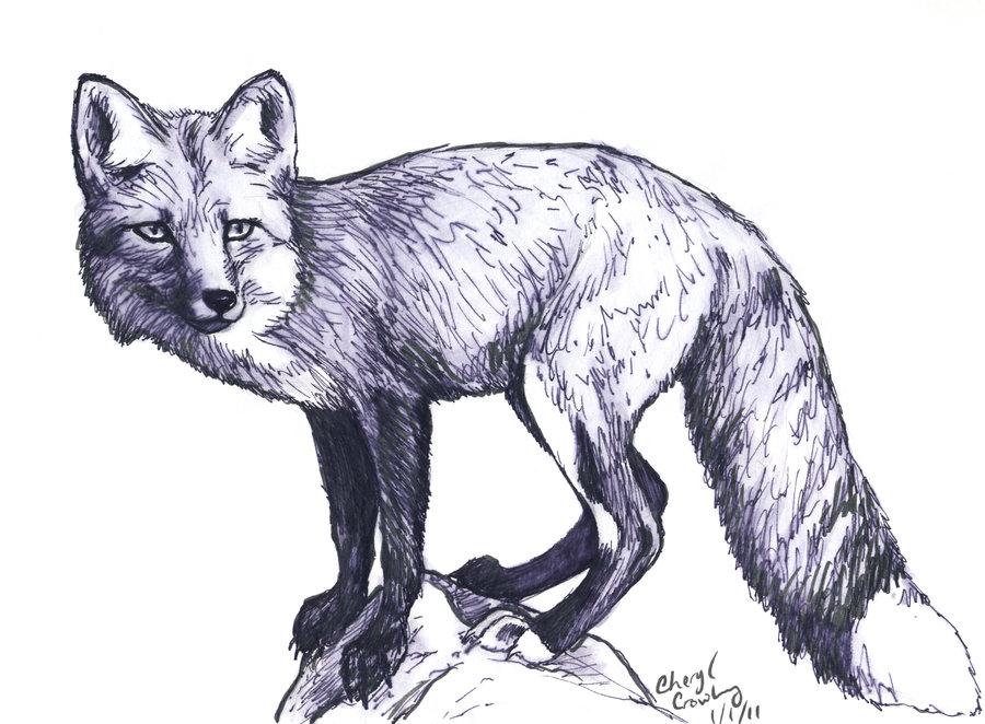 900x662 Fox Sketch By Silvercrossfox