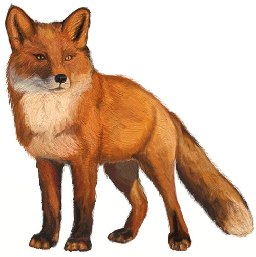 500x502 How To Draw A Fox
