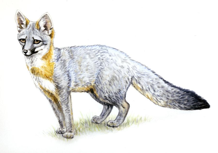 900x635 Fox Silvercrossfox