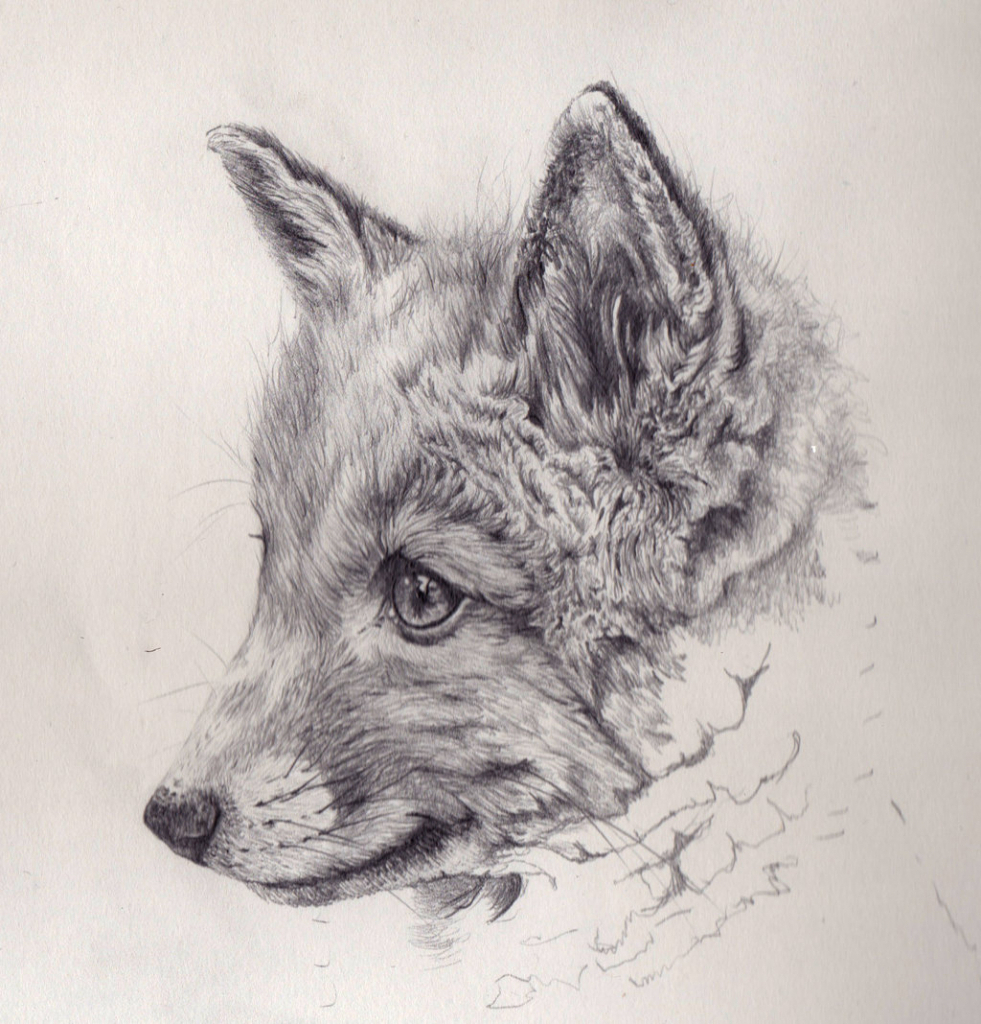 981x1024 Fox Pencil Drawing Fox Pencil Drawing Pencil Drawing Of Animals