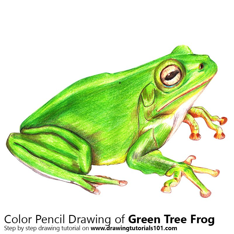 800x800 Green Tree Frog Colored Pencils