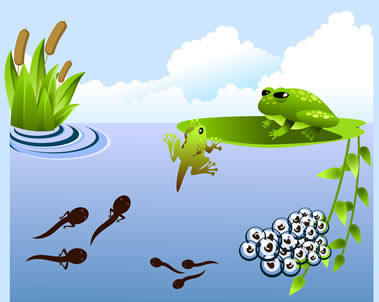 379x302 Articles And Pictures About The Life Cycle Of A Frog Including