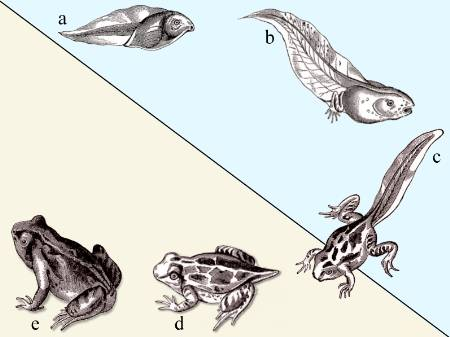450x337 Diagram Of Frog Life Cycle